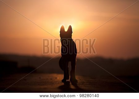 Dog backlight silhouette in sunset