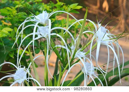 White spider lily flower