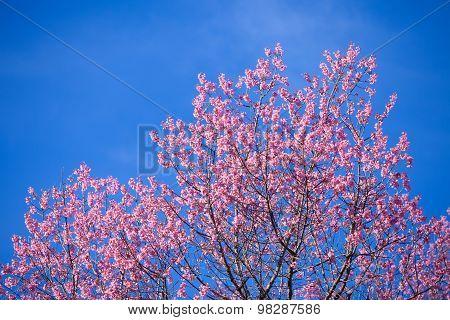 Beautiful pink cherry blossom (Sakura) flower at full bloom on blue sky.