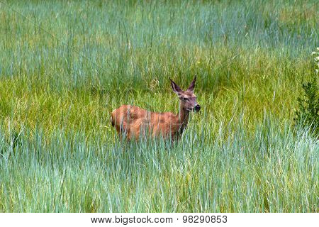 Yosemite Mule Deer at a Meadow