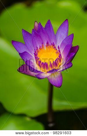 Lotus flower.