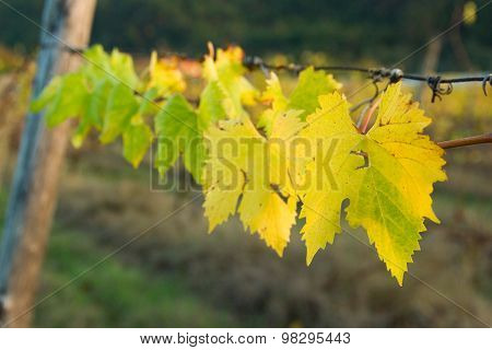 Grapes Leaves