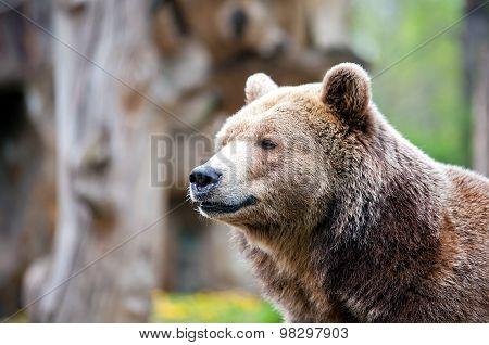 Staring Brown Bear