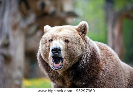Roaring Brown Bear