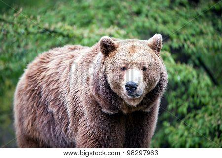Walking Brown Bear
