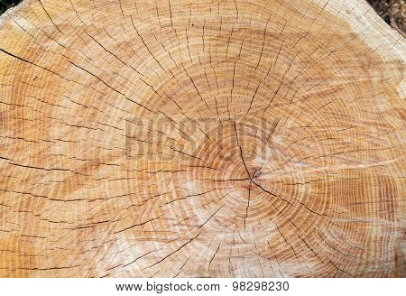 top view of tree stump with section of the trunk with annual rings