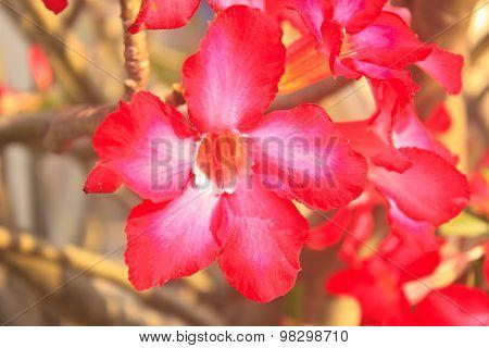 Beautiful Pink Azalea Flowers Tropical Flower