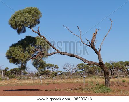An Australian Desert oak