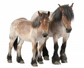 foto of 13 year old  - Mother and foal Belgian horse Belgian Heavy Horse Brabancon a draft horse breed 5 years old standing in front of white background and 13 months old - JPG