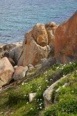 pic of arum  - Arum lilies and lichen growing along the coast near Albany in Western Australia - JPG