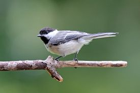 picture of chickadee  - A black capped chickadee perching on a branch in summer - JPG