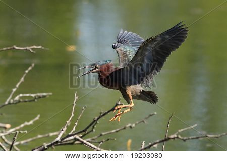 Aggessive Green Heron