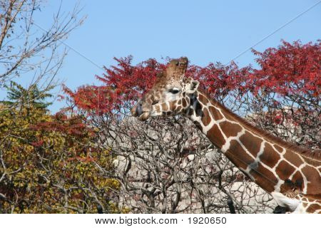Licking Giraffe
