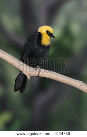 Yellow Hooded Blackbird Sitting On A Tree Branch
