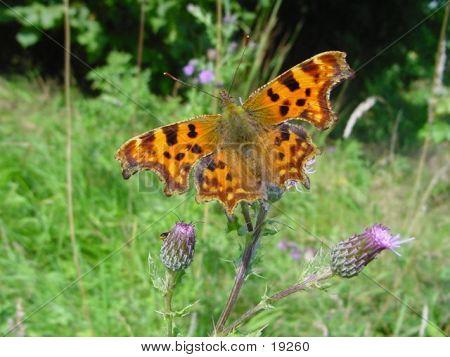 Comma Butterfly 02