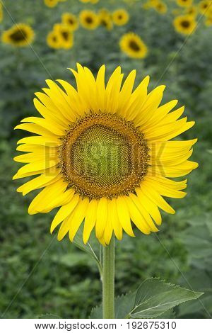 Close up of yellow sunflower on plant