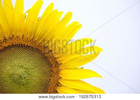 Detail of yellow sunflower on white background