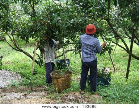 Longan Plantation