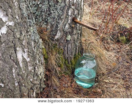 Collecting Birch Juice 2