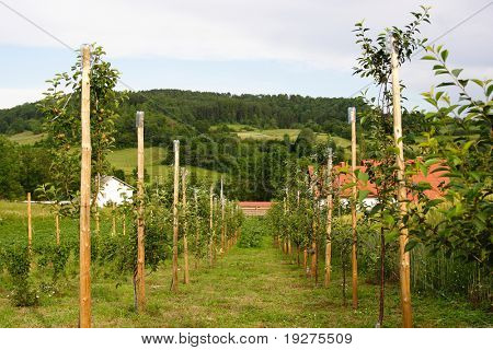rural landscape with young fruit orchard