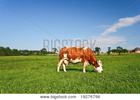 Red Cow grazing on a green pasture