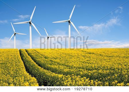 Wind farm with rapeseed field