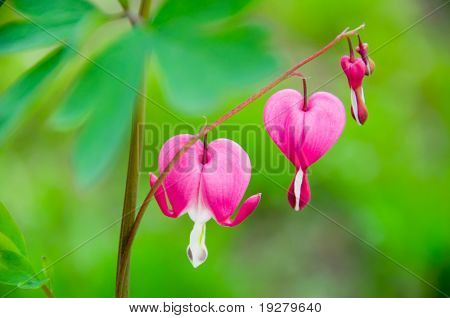 Dicentra spectabilis also known as Venus's car, bleeding heart, or lyre flower