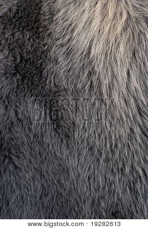 Blue or silver polar fox fur closeup