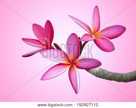 Image of pink frangipani flower on pink background