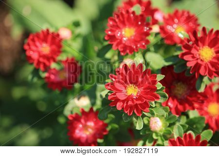 Red china aster on tropical garden, Thailand