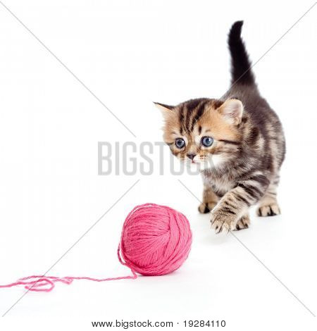 tabby british kitten playing red clew or ball isolated