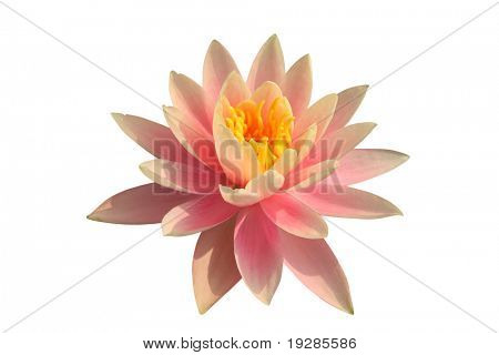 Pink water lily on white background