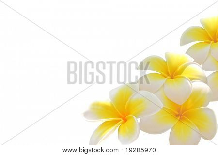 Frangipani flowers isolated on white