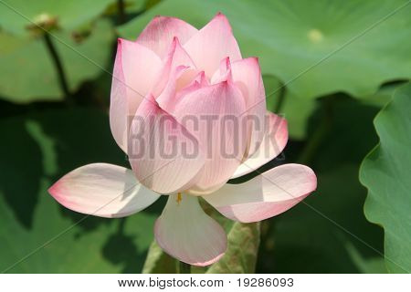 Lotus flower in an asian garden