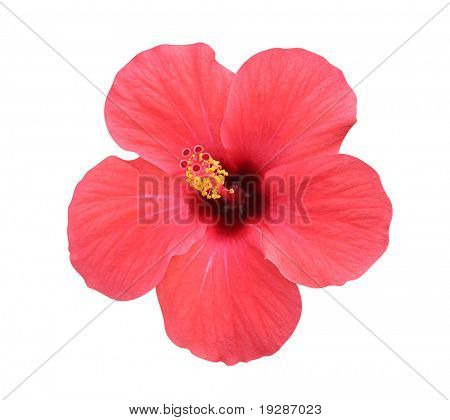Hibiscus flower - isolated, path included