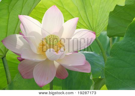 lotus flower blossom
