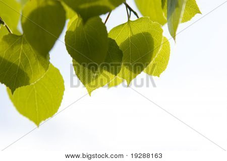 Aspen leaves against bright lit sky