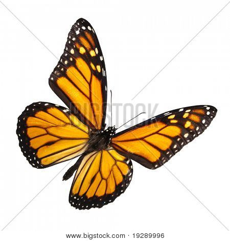 Monarch Butterfly Isolated on White. No shadow for easy isolated use on any background.
