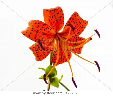 Tiger Lily Side