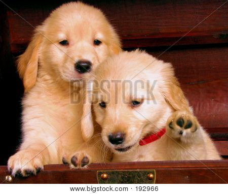 Golden Retriever Puppies 2