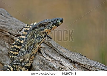 goanna (lace monitor) puts its arm up and rests nonchalantly on a log without a care in the world
