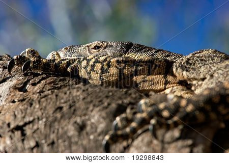 a big lace monitor goanna lizard lays and rests in the tree