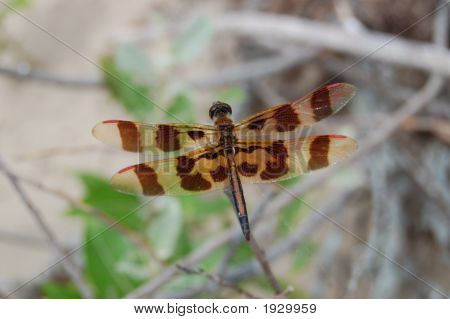 Brown Red Tip Dragonfly