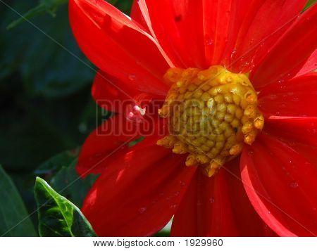 Dalhia Bursting With Nectar Center