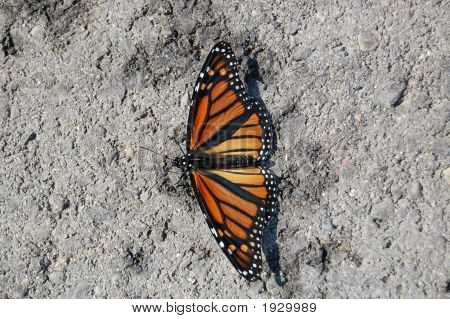 Monarch On Stone