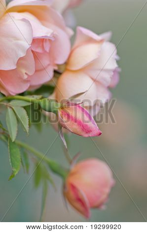 excellent image of pink roses at varying stages