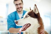 Muzzle of cute siberian husky visiting vet poster