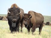 stock photo of female buffalo  - Male and female buffalo during the mating season in Custer State Park SD - JPG