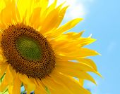 foto of sunflower  - Sunflower - JPG