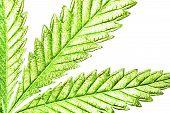 Isolated 5 Tip Marijuana Leaf 02 poster